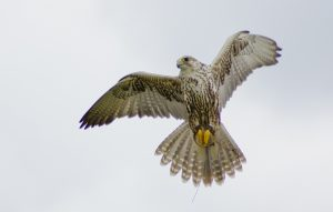 Falconers@Work - Sakervalk Simcha