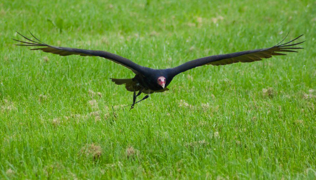Falconers@Work - Foto van Kalkoengier