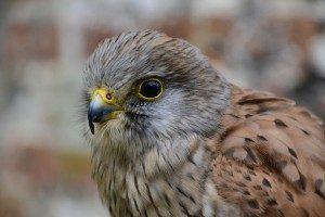 Falconers@Work - Foto van Europese Torenvalk