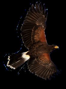 Falconers@Work - Woestijnbuizerd in vlucht