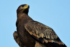 Falconers@Work - foto van Steppe arend
