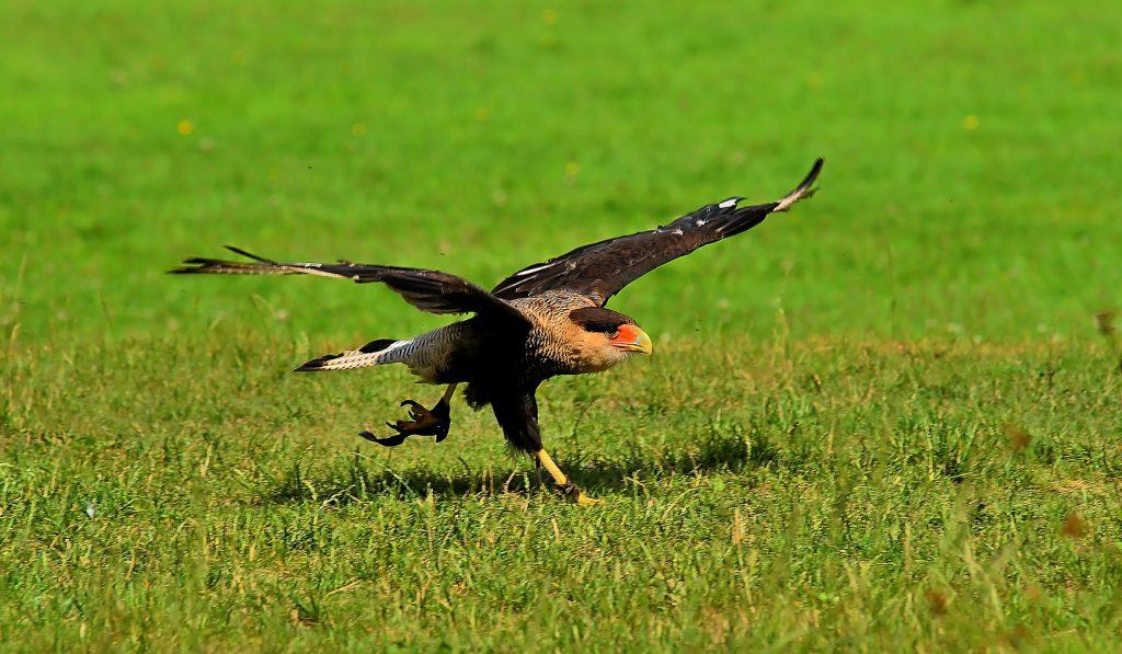 Falconers@Work - Foto van Kuifcaracara