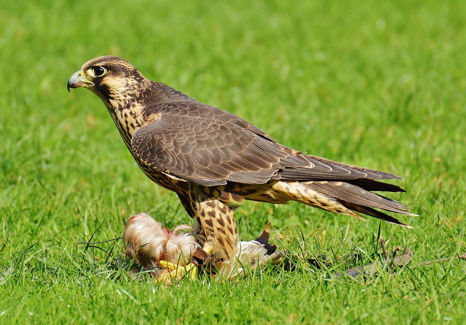 Falconers@Work - Foto van Valk op Loer