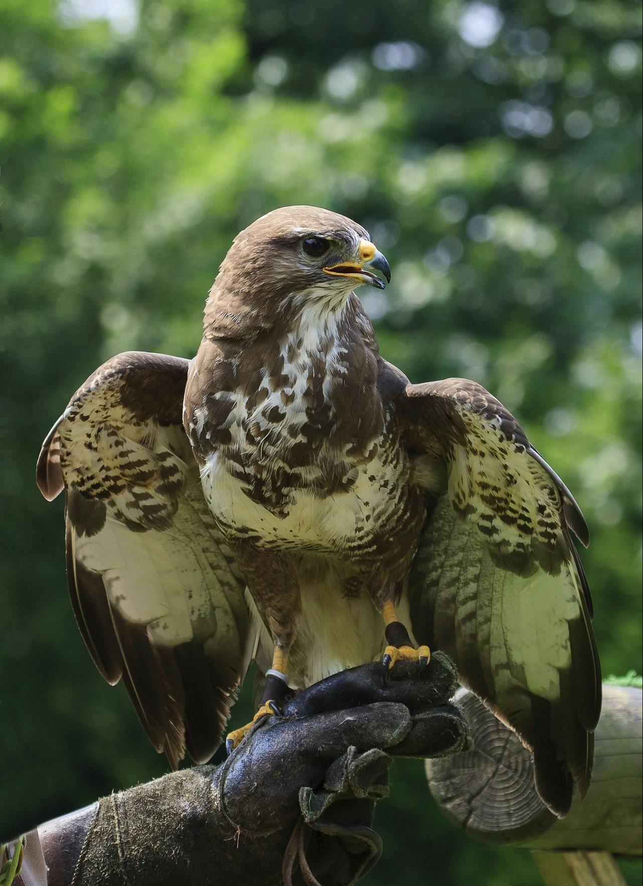 Falconers @ Work - Europese Buizerd