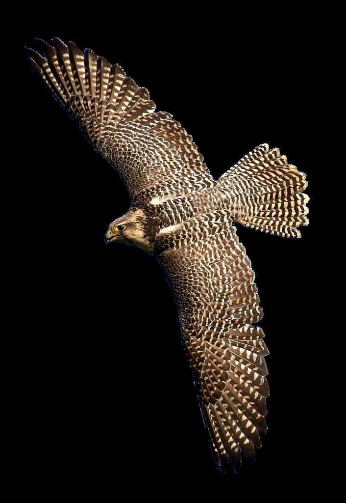 falcon 2932053 1920